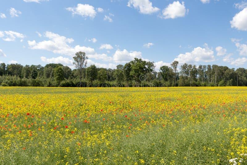 Campo de flores rojas y amarillas fotografía de archivo libre de regalías