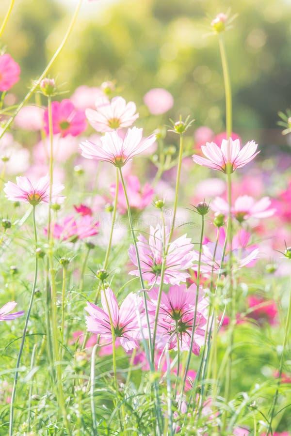 Campo de flores rosado del cosmos, paisaje de flores imágenes de archivo libres de regalías