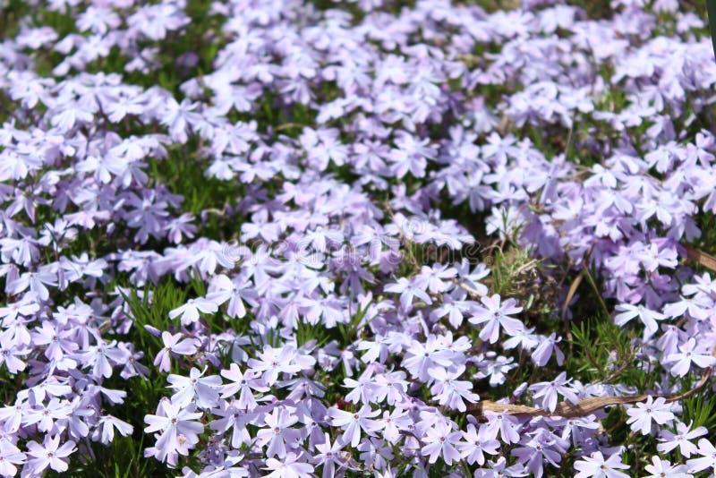 Campo de flores roxas brilhantes bonitas imagem de stock royalty free