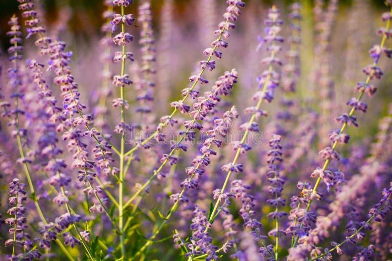 Campo de flores roxas do verão do sábio do russo na luz solar morna fotografia de stock