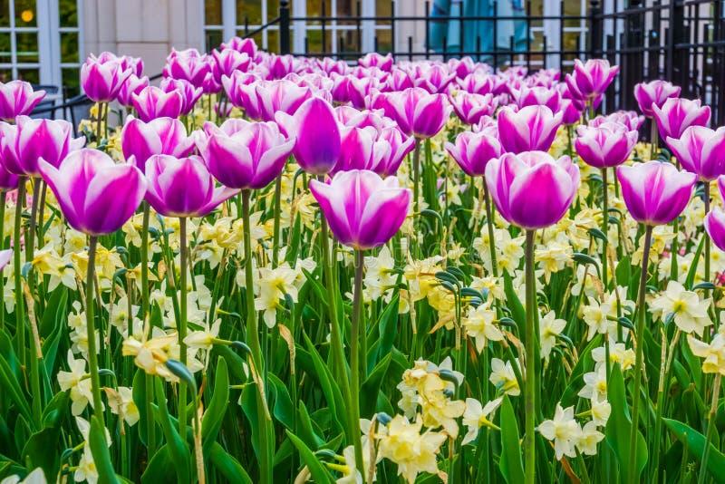 Campo de flores roxas e brancas da tulipa com narcisos amarelos amarelos, jardins decorativos holandeses típicos imagens de stock royalty free