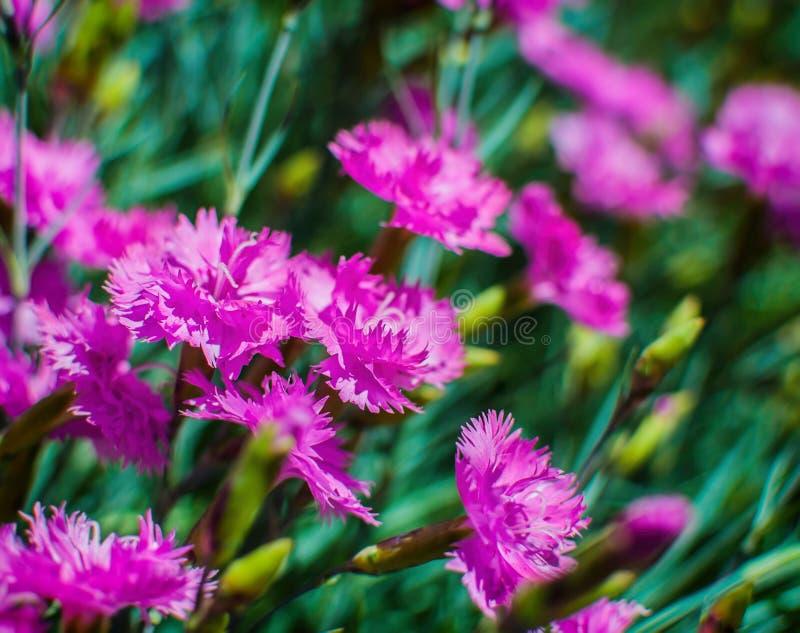 Campo de flores salvaje del clavel en un día soleado con el foco selectivo imagen de archivo