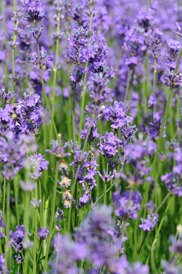 Campo de flores Scented da alfazema fotos de stock