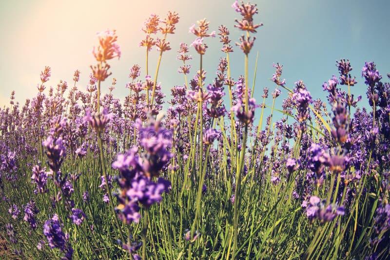 Campo de flores Scented da alfazema sob o céu azul imagens de stock