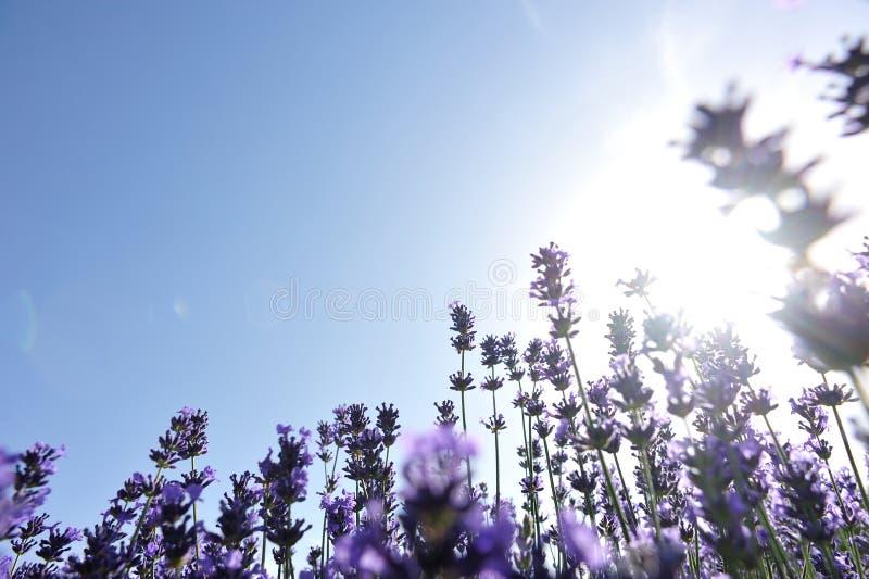 Campo de flores Scented da alfazema sob o céu azul imagem de stock royalty free
