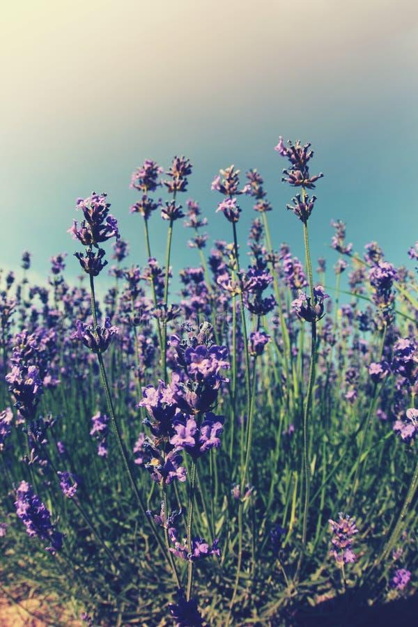 Campo de flores Scented da alfazema sob o céu azul foto de stock