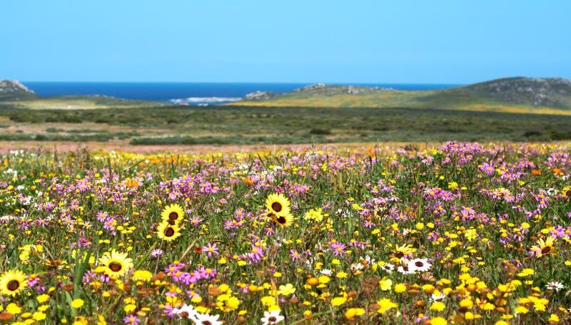Campo de flores selvagens coloridas fotografia de stock