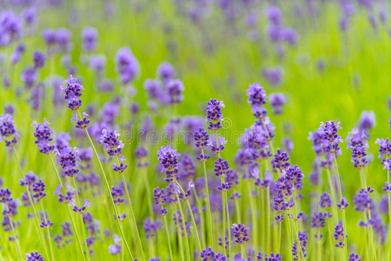 Campo de flores violeta da alfazema do close-up foto de stock royalty free