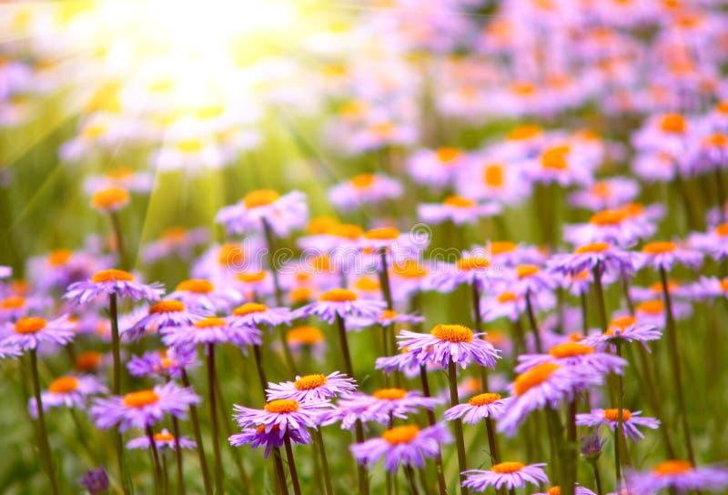 Campo de flores violetas selvagens fotos de stock royalty free
