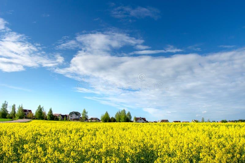 Campo de florescência amarelo da colza e céu azul Cena do campo Prado agrícola do verão perto da vila rural imagem de stock royalty free