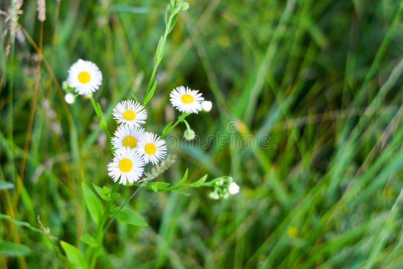 Campo de florescência bonito da margarida Narcisos da mola Prado da camomila do verão no jardim imagem de stock royalty free