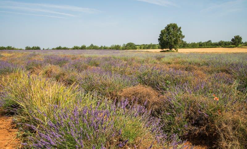 Campo de florescência roxo da alfazema na região de Provence de França imagens de stock royalty free