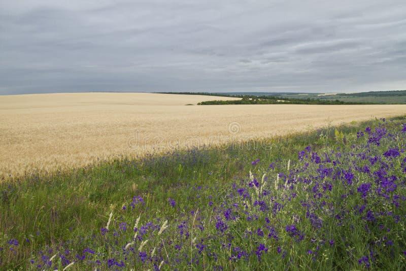 Campo de fondo natural del trigo fotografía de archivo