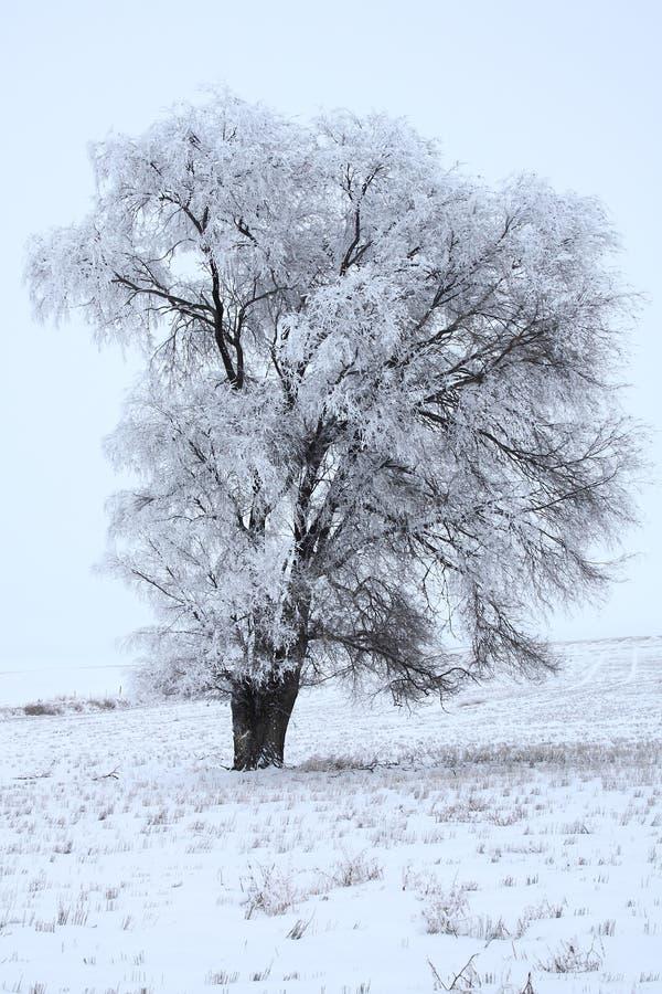 Campo de Frosty Lonely Cottonwood In The imágenes de archivo libres de regalías