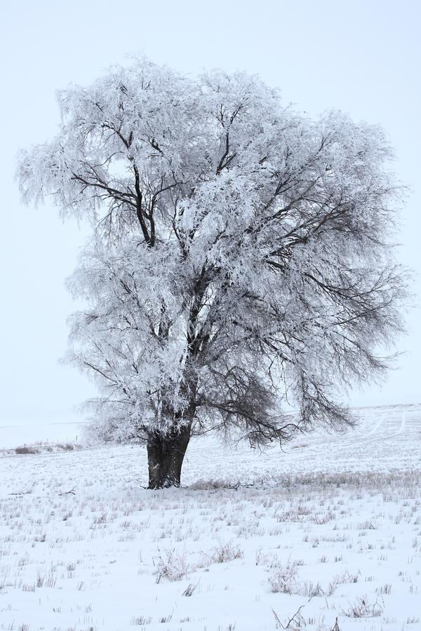 Campo de Frosty Lonely Cottonwood In The imagens de stock royalty free