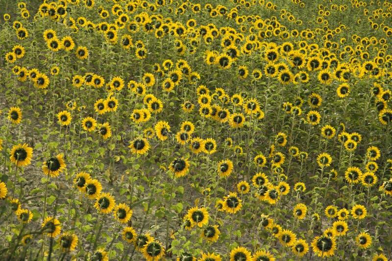 Campo de girasoles. imagenes de archivo