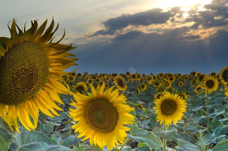 Campo de girasoles con los rayos de una flor grande y del sol en la puesta del sol imagen de archivo libre de regalías