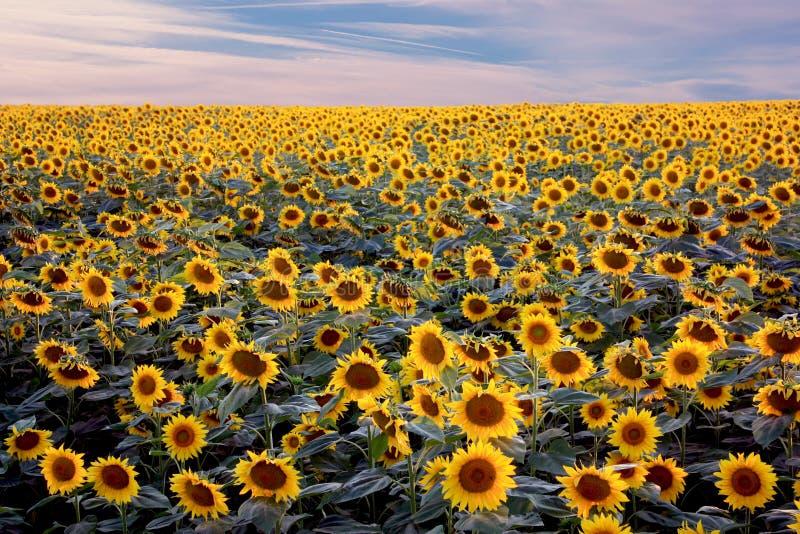 Campo de girasoles florecientes en fondo del cielo azul nublado fotografía de archivo libre de regalías