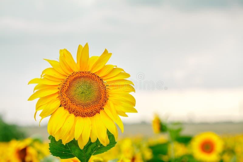 Campo de girasoles florecientes en un fondo del cielo azul fotografía de archivo libre de regalías