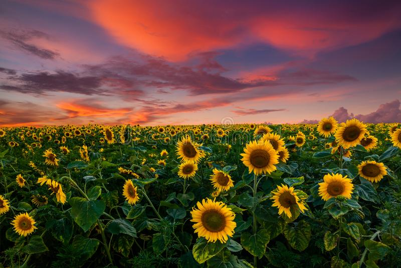 Campo de girasoles florecientes en una puesta del sol del fondo imagen de archivo libre de regalías