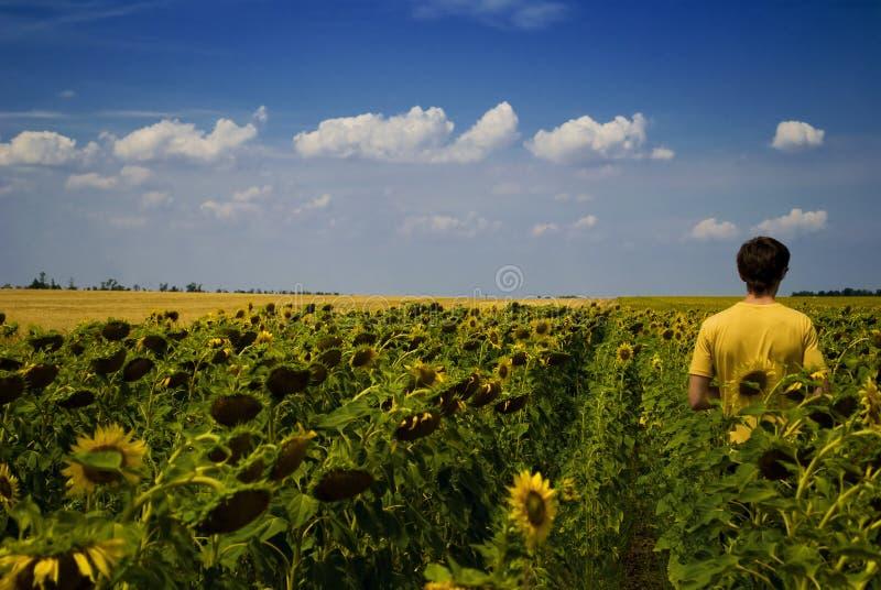 Campo de girasoles y del hombre de funcionamiento en verano fotos de archivo