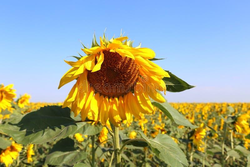 Campo de girassóis de florescência no verão contra o céu azul imagens de stock