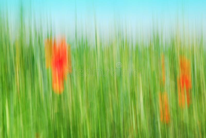 Campo de grão abstrato com a papoila de milho vermelha fotografia de stock