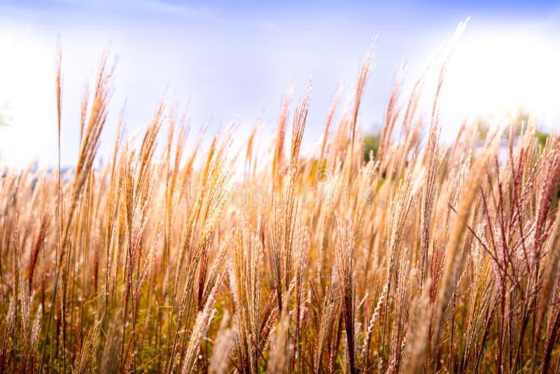 Campo de grãos em detalhe e close, com cores amarelas e magenta acastanhadas, céu para espaço de cópia fotos de stock