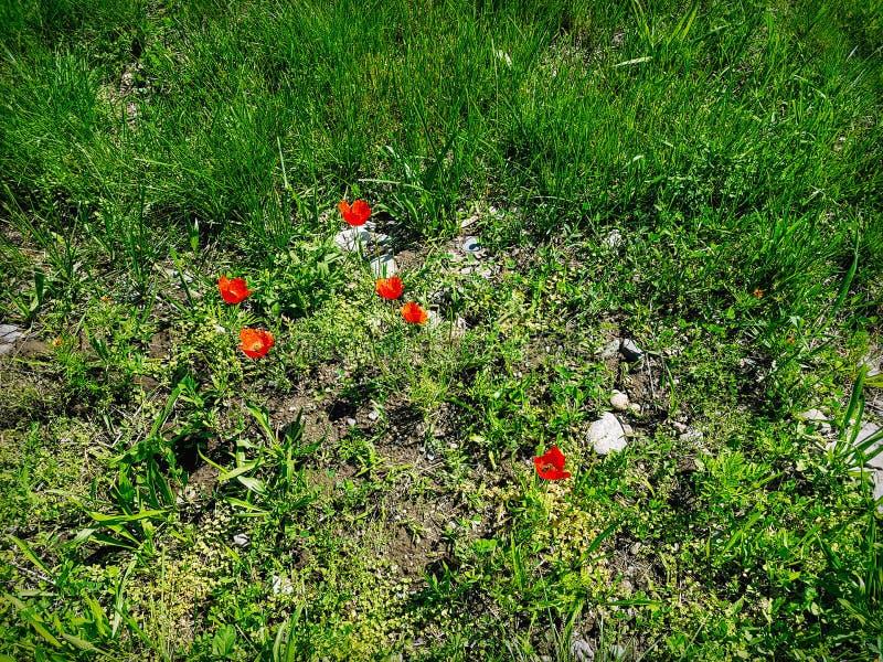 Campo de grama bonito e alguma flor vermelha da papoila foto de stock