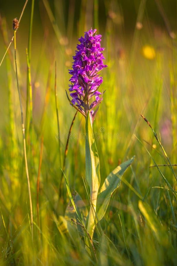 Campo de grama natural com as orquídeas europeias selvagens imagens de stock royalty free