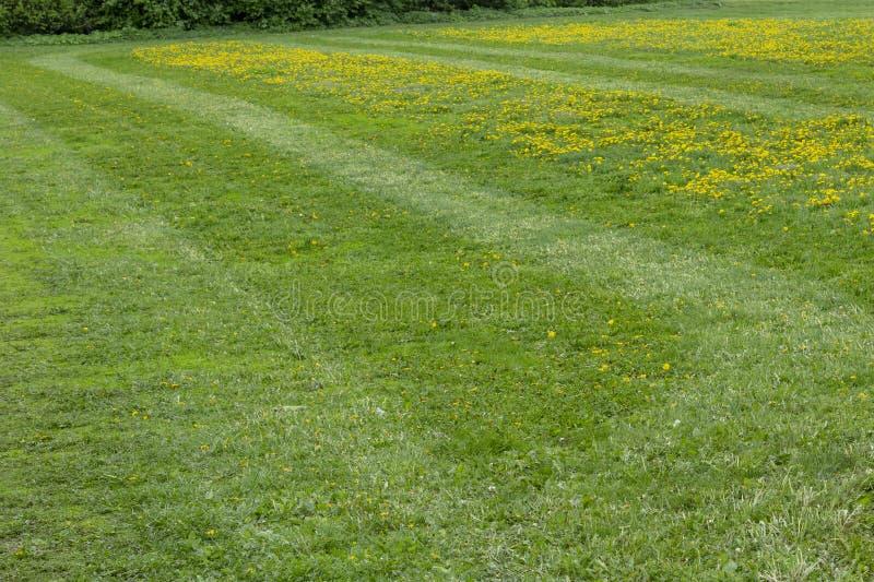 Campo de grama verde com dentes-de-leão foto de stock royalty free
