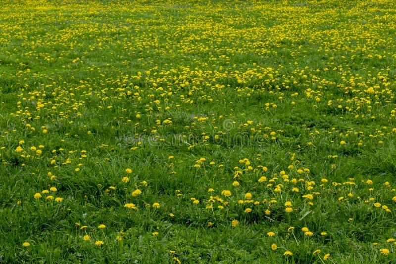 Campo de grama verde com dentes-de-le?o foto de stock royalty free