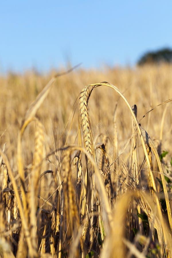 Campo de granja amarillo foto de archivo
