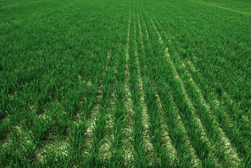 Campo de granja con el crecimiento de cosechas verdes enorme fotos de archivo libres de regalías