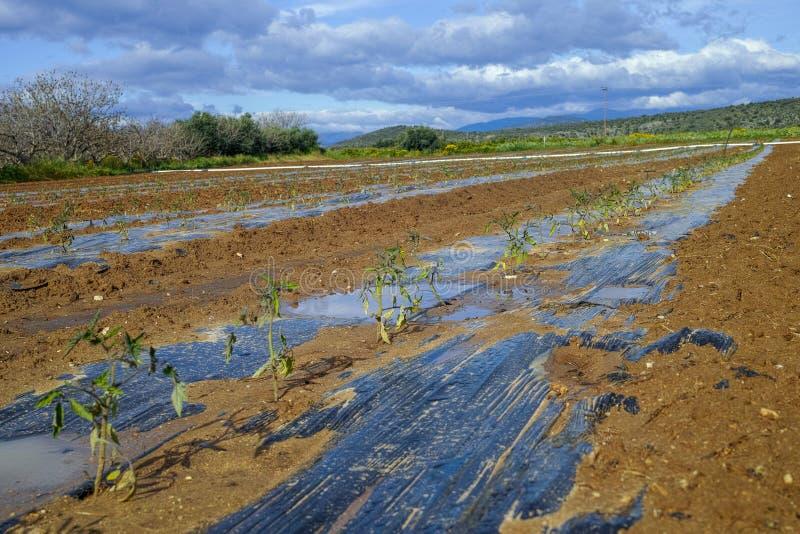 Campo de granja con filas de brotes jovenes de las plantas de tomate que crecen exteriores debajo del sol griego imagen de archivo libre de regalías