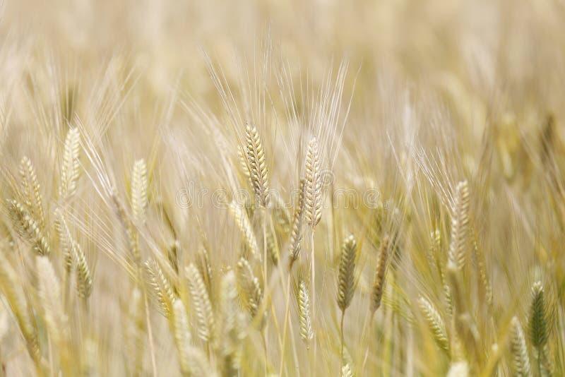 Campo de grano de oro del trigo fotografía de archivo libre de regalías