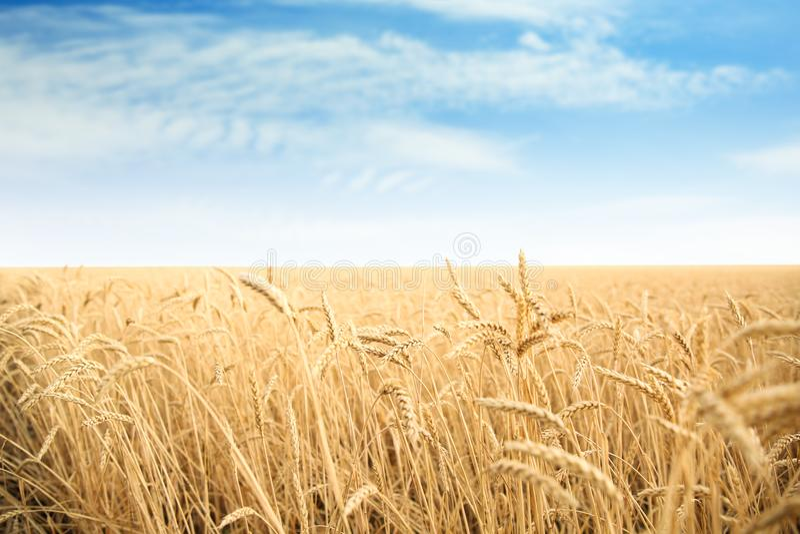 Campo de grano del trigo el día soleado fotos de archivo