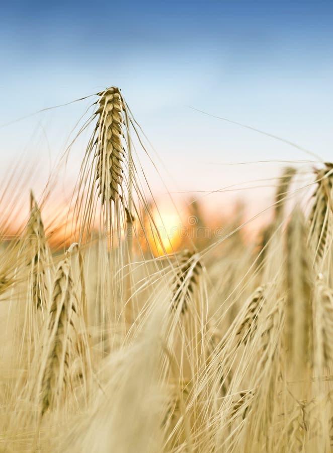Campo de grano fresco con puesta del sol fotografía de archivo libre de regalías