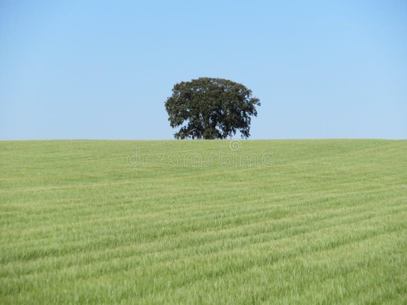 Campo de grano hermoso que espera para ser amarillo y seco ser cosechado fotos de archivo libres de regalías