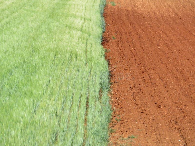 Campo de grano hermoso que espera para ser amarillo y seco ser cosechado imagen de archivo