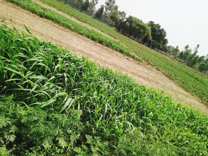 Campo de hierba en la imagen fresca de la India fotos de archivo libres de regalías