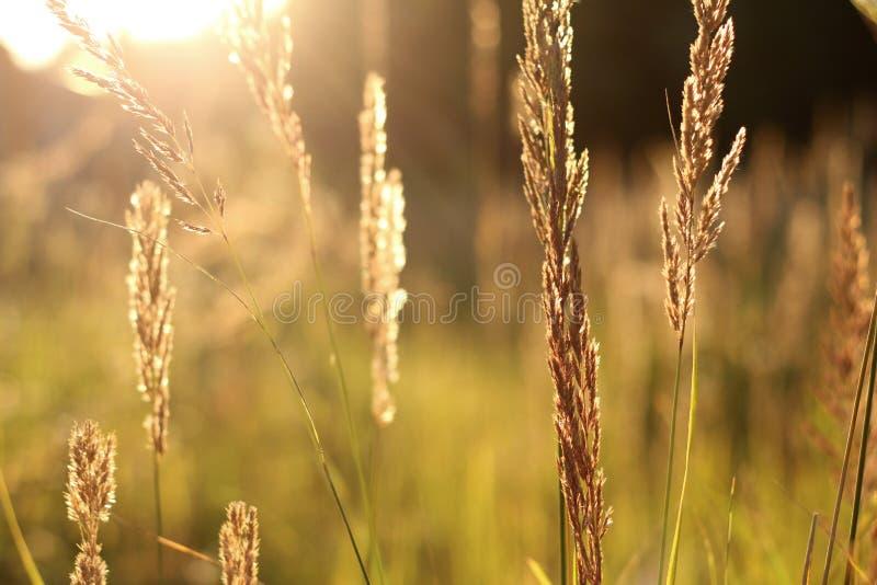 Campo de hierba de oro en la puesta del sol Foco selectivo foto de archivo libre de regalías