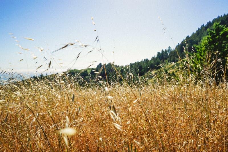 Campo de hierba seca amarillo en un día suuny con el bosque en el fondo en Marin, California fotos de archivo libres de regalías