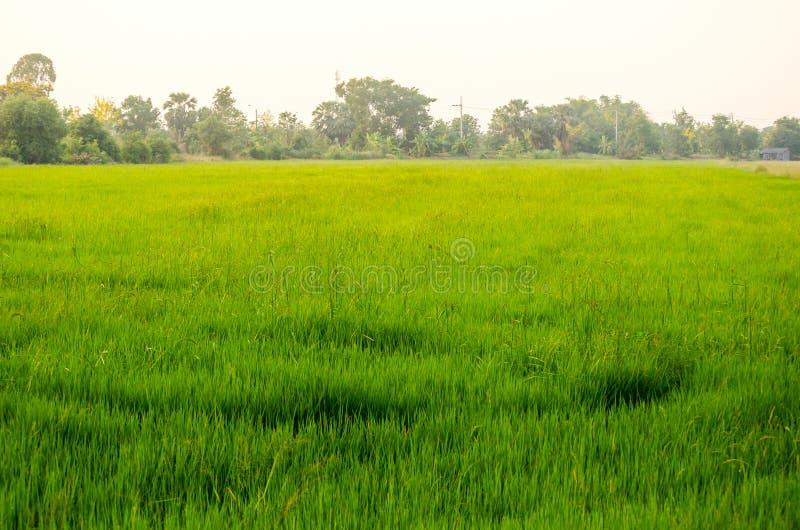 Campo de hierba verde con la luz brillante de la puesta del sol en un rural de Tailandia fotos de archivo libres de regalías