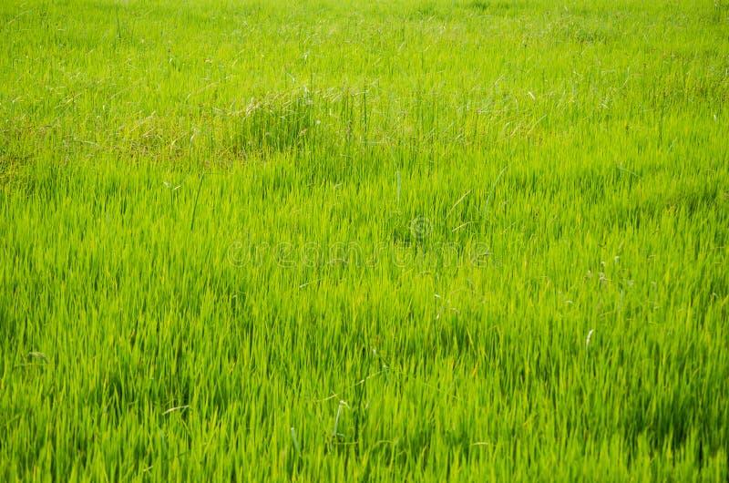 Campo de hierba verde en un rural de Tailandia en cierre para arriba imagen de archivo libre de regalías