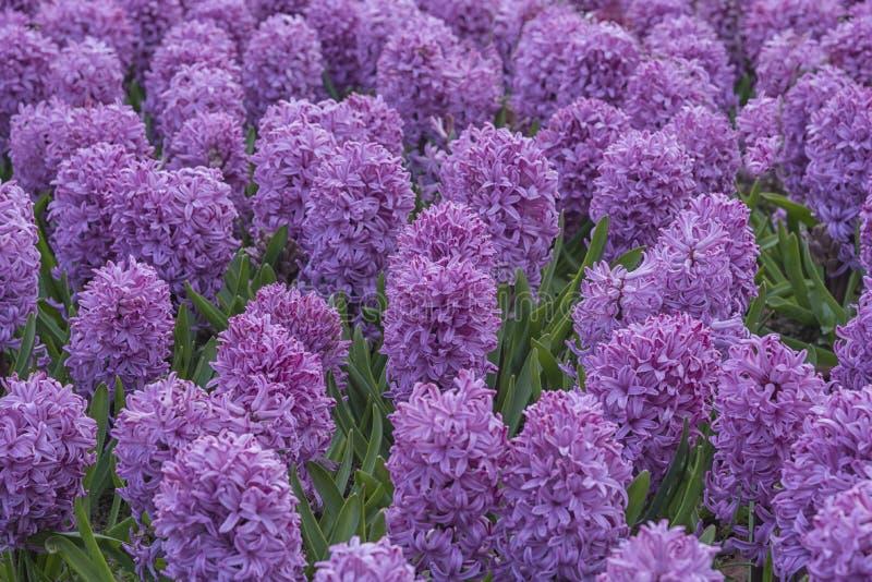 Campo de Hyacinths Lilac nos Países Baixos, Keukenhof Culturas de flores Paisagem natural da primavera imagens de stock