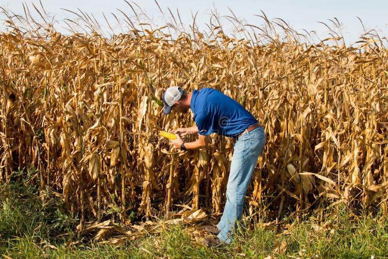 Campo de Inspecting Corn del granjero fotografía de archivo libre de regalías