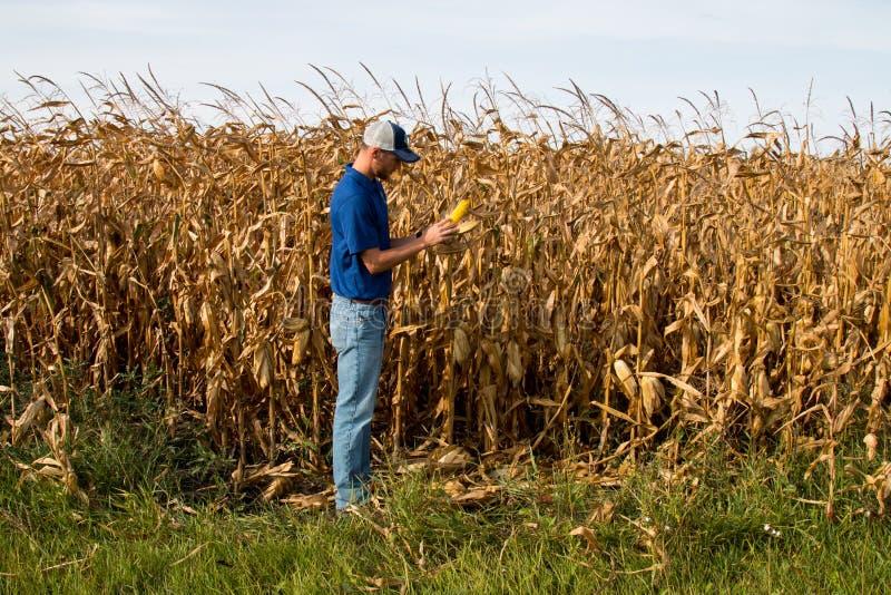 Campo de Inspecting Corn del granjero imagenes de archivo