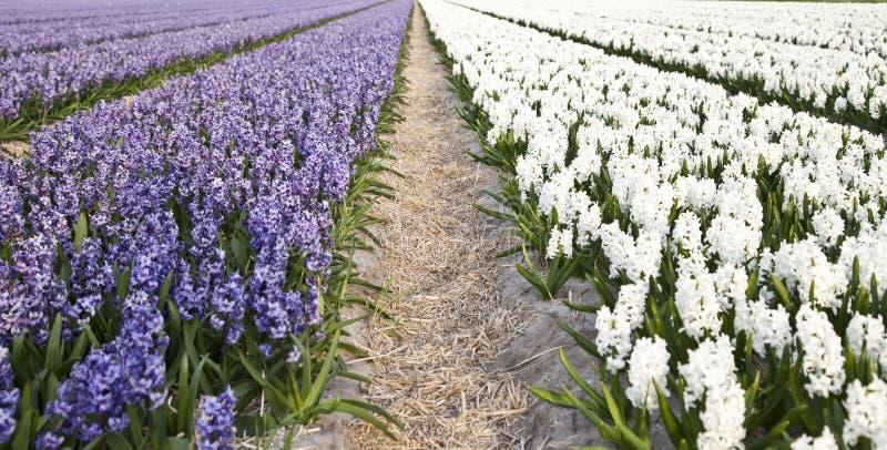 Campo de jacintos roxos e brancos bonitos fotografia de stock royalty free