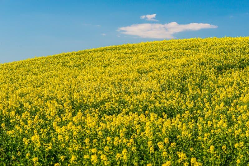 Campo de la agricultura con la rabina y el cielo azul foto de archivo libre de regalías